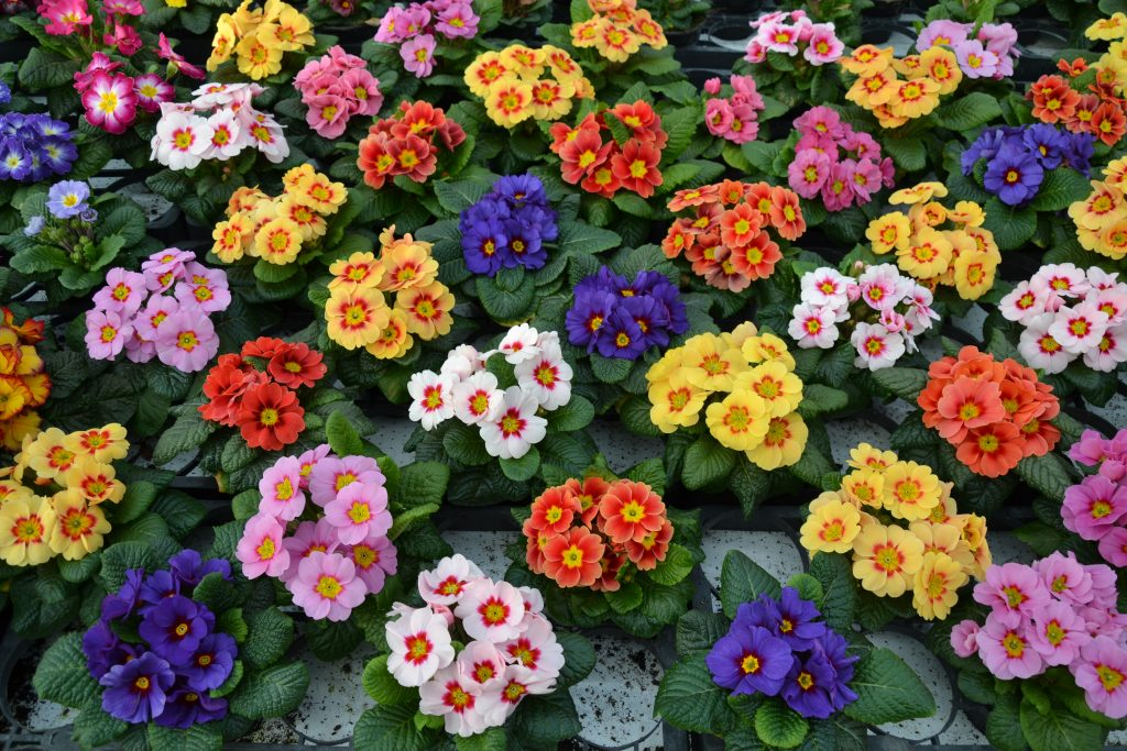 Sudár kankalin-Primula elatior